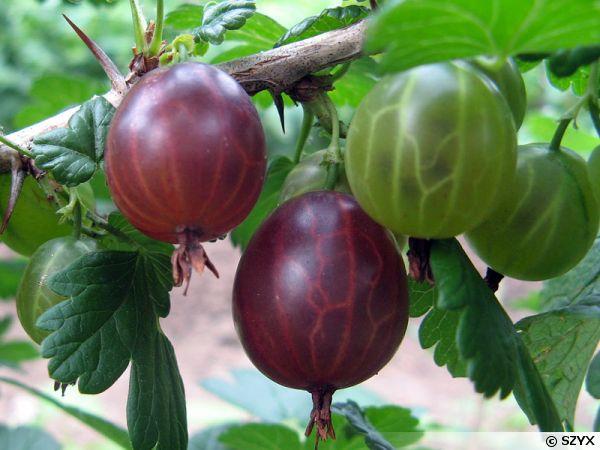 Ribes grossularia 600x450