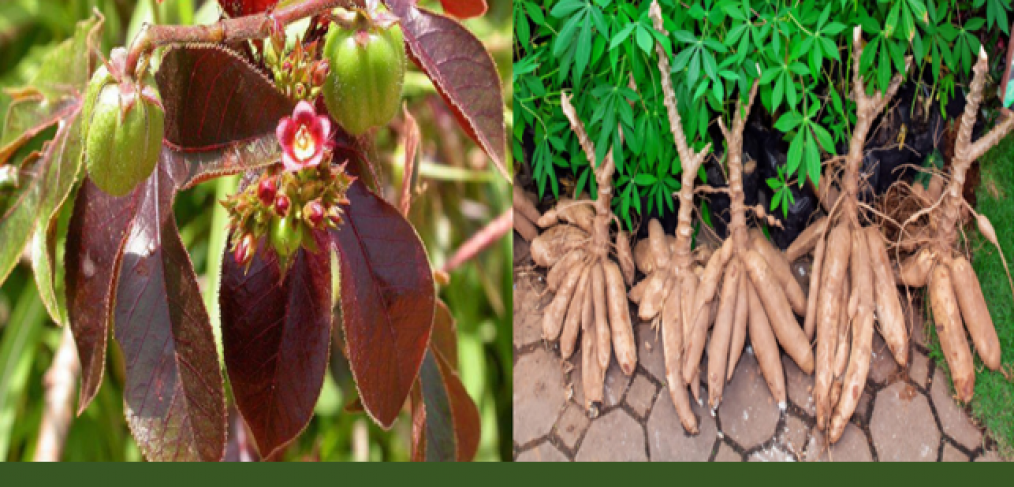 Jatropha and cassava tubers against AIDS