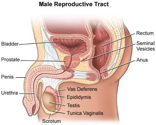 Male reproductive track illustration